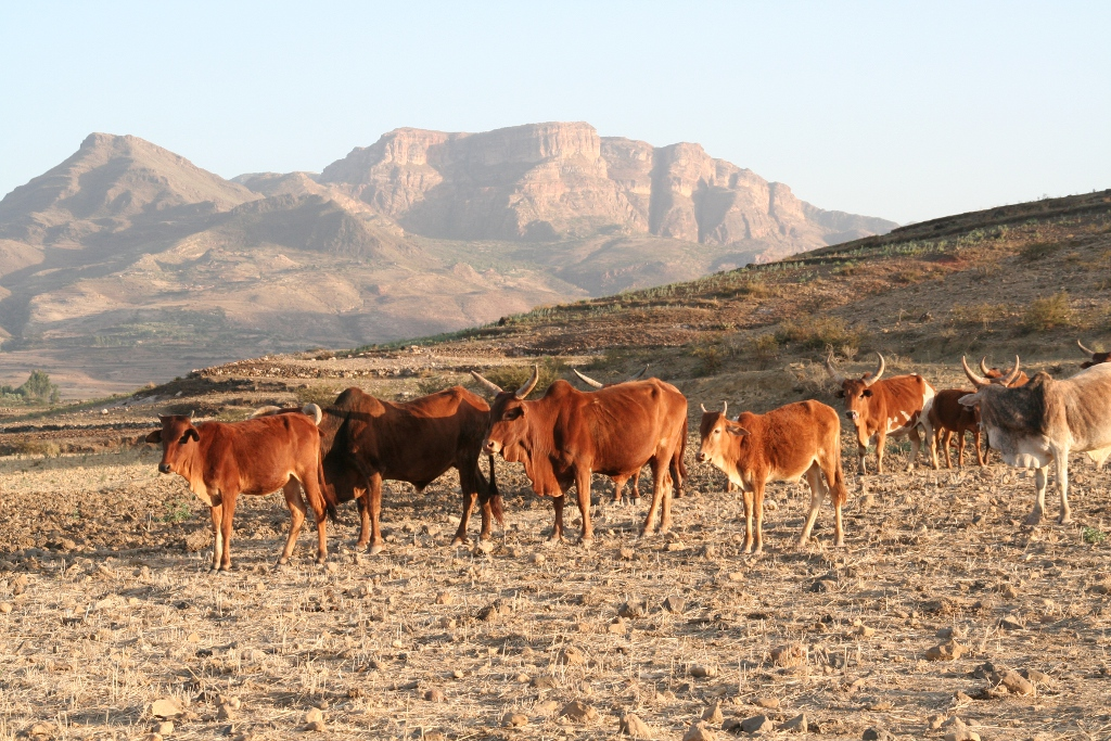 Rinder und Berge