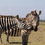 ... ein paar Zebras ...